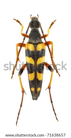 Female of Strangalia attenuata isolated on a white background. - stock photo