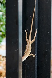 Female of the Invasive Brown Anole Lizard Species hanging onto a black metal fence