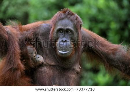 Female of the orangutan with a cub. The female of the orangutan feeds a cub. Rain wood of Borneo.