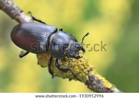Female of the stag beetle on a close up picture in its natural environment - sitting on the branch. A rare and endangered beetle species with large mandibles, occurring in Europe. Lucanus cervus Foto stock ©