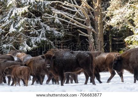 Female Of Wild European Brown Bison ( Bison Bonasus ) In Winter Pine Forest. Adult Aurochs ( Wisent ), Symbol Of The Republic Of Belarus. Bison (Bison Bonasus)  Standing On Background Of Common Herd