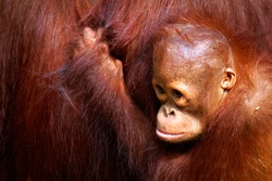 Female orangutan and her baby in the rainforest