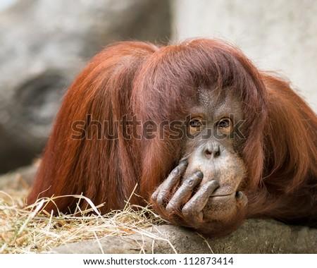 Female orangutan (Pongo pygmaeus)