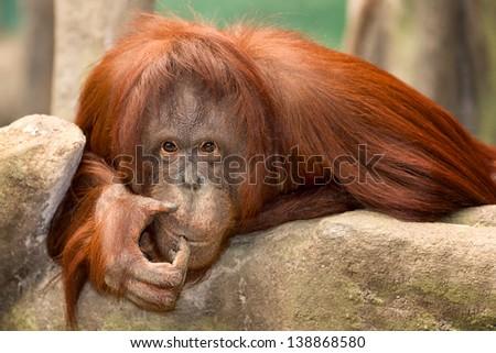 Female orangutan resting on rocky ledge
