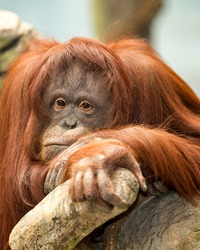 Female orangutan with depressed expression