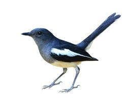 Female Oriental Magpie Robin, the grey and white bird, with tail lifting isolated on white background