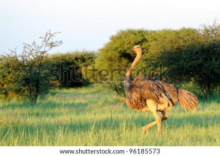 Female Ostrich in the grass