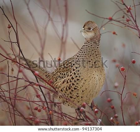 Female Pheasant Perched in Berry Bush
