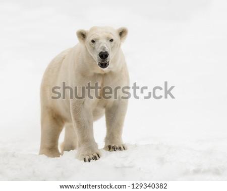 Female polar bear (Ursus maritimus) standing in the snow