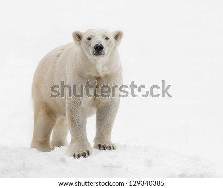 Female polar bear (Ursus maritimus) standing in the snow