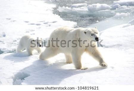 Female polar bear with following cub