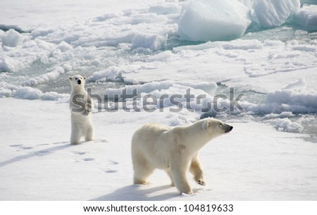 Female polar bear with standing up cub
