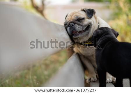 Female pug dog so tired sitting back off black pug dog on wooden chair.