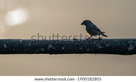 Female Red crossbill (Loxia curvirostra) in the forest. Contre-jour composition.  Photo stock ©