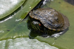 Female red-eared slider turtle resting on some green lily pads in a pond