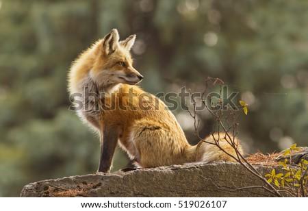 Female red fox in the morning light