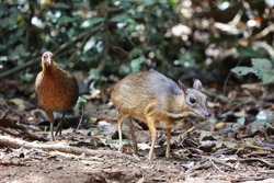 Female red junglefowl and Lesser mouse-deer or Lesser Malay Chevrotian