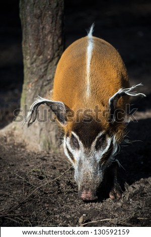 female red river hog next to the base of a tree trunk/Red River Hog