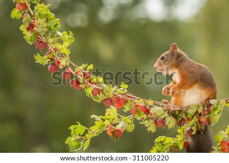 female red squirrel standing on branch with gooseberries  #311005220