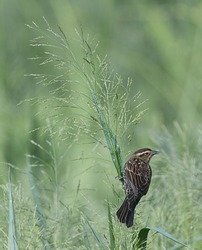female red winged black bird (Agelaius phoeniceus) looking right, showing pattern of white eye stripe on green plant with seed stalks