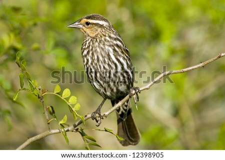 Female Red-winged Blackbird perched high up in a tree