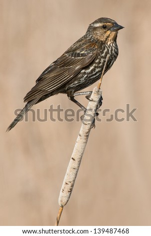 Female Red-winged Blackbird perched on a cattail.