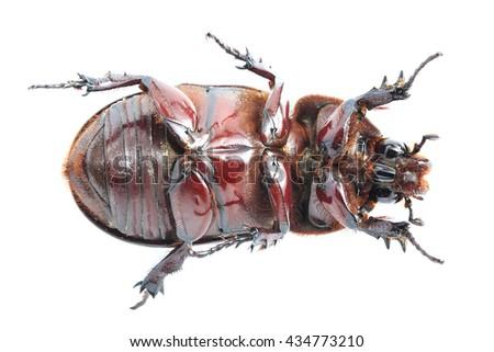 free photos female rhinoceros beetle rhino beetle hercules beetle