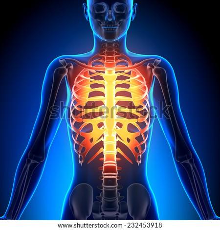 Male Rib Cage And Sternum Anatomy Bones Ez Canvas