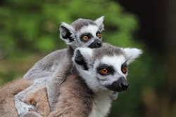 Female Ring-Tailed Lemur with Baby, Spider (Lemur catta)