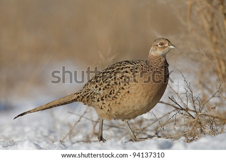 Female Ringneck Pheasant Walking in Winter Prairie Habitat