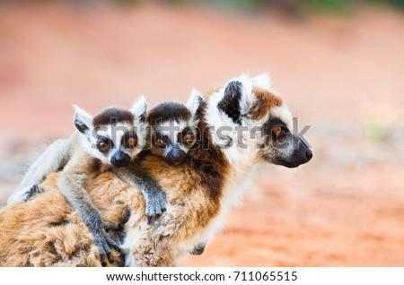 Female ringtailed lemur, Lemur catta, carrying twin babies iin Berenty reserve Madagascar