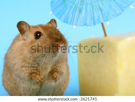 female rodent relaxing under summer umbrella with cheese