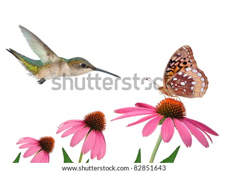 Female Ruby- throated Hummingbird and a Great Spangled Fritillary butterfly at purple coneflowers - for your cards, background, and other artistic needs.