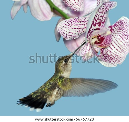 Female Ruby-throated Hummingbird (Archilochus colubris).Female Ruby-throated Hummingbird at a Phalaenopsis Orchid.