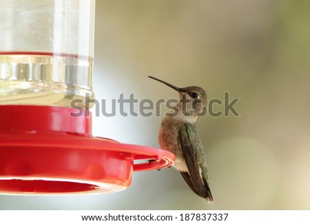 Female Ruby-throated Hummingbird (Archilochus colubris) on feeder filled with nectar (sugar water).  Selective focus with very soft background and copy space.
