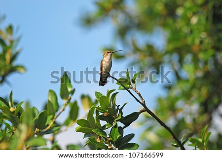 Female Ruby-throated hummingbird (Archilochus colubris) perched on branch in Live Oak Tree.