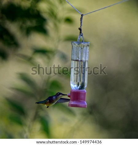 female Ruby-throated Hummingbird getting a drink at a feeder full of sugar water nectar