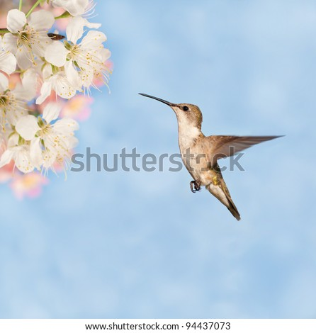 Female Ruby-throated Hummingbird getting ready to feed on spring flowers