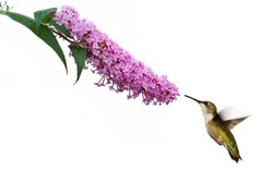 female ruby throated hummingbird hovers near pink butterfly bush
