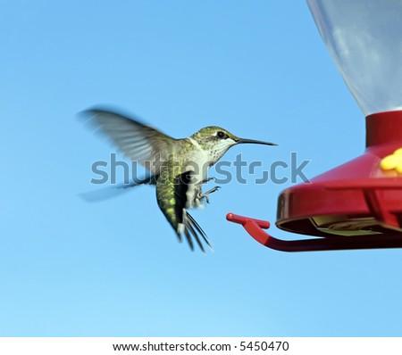 Female Ruby-throated Hummingbird landing on a red feeder.