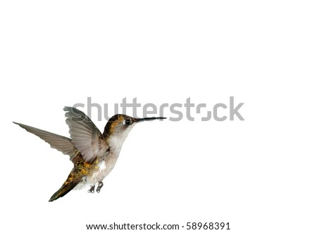 Female Ruby-throated Hummingbird On White Background (Archilochus colubris)