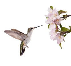 Female Ruby-throated Hummingbird ready to feed on an apple blossom, isolated on white