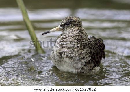 Shutterstock Female ruff (reeve) or male with mimic plumage. Animal mating strategy. Usually sexually dimorphic, males sometimes take on female plumage.