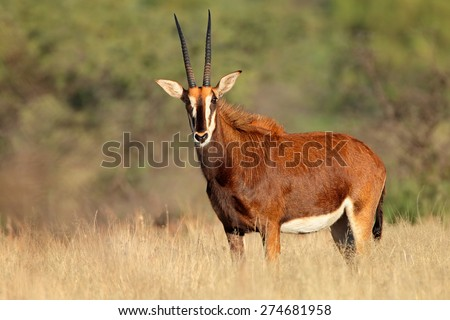 Female sable antelope (Hippotragus niger) in natural habitat, South Africa
