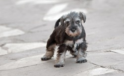 Female salt and pepper miniature schnauzer puppy