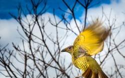 Female Satin Bower bird in flight