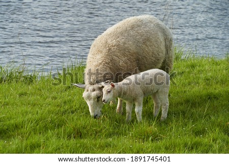 female sheep with little lamb is grazing on a pasture next to the water Foto stock ©