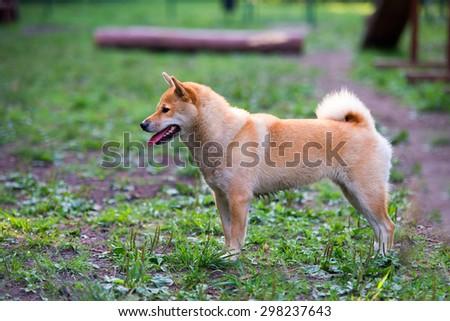 female shiba inu dog in dog park