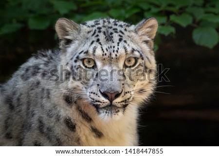 Female snow leopard (two years old in picture) gazing into camera.