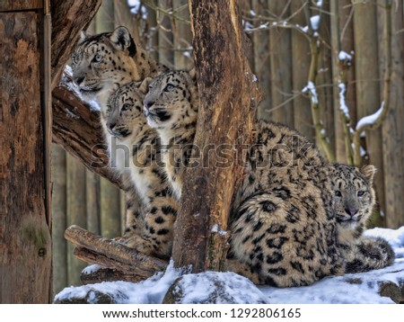 Female Snow leopard, Uncia ounce, with subadult chick #1292806165